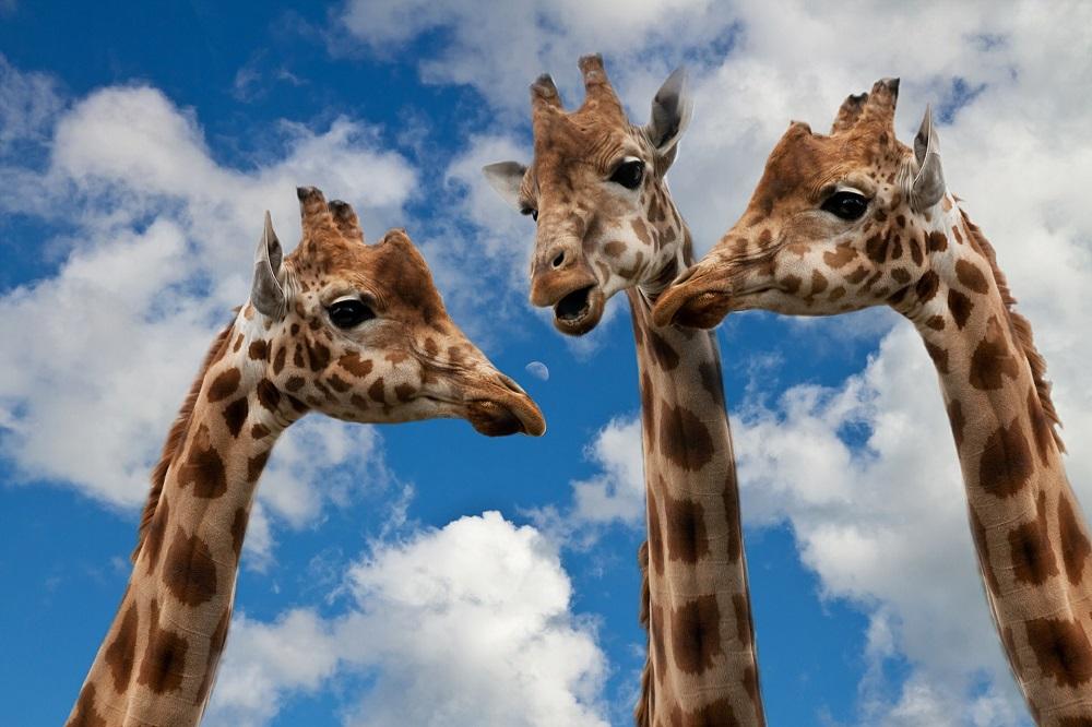 Girafes symbole de la Communication Non Violente